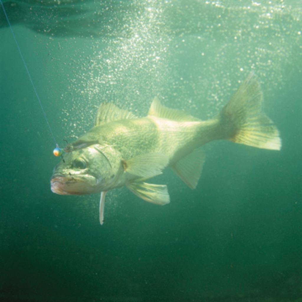 Better stickbait techniques for walleyes flw fishing for Wall eye fish