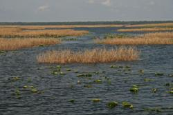 Unique to Florida lakes, Kissimmee grass remains emergent year-round and provides prime bass habitat.