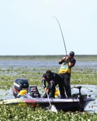 Baitfish such as bluegills can give bass anglers a clue as to where to start in large grass beds, says EverStart team pro Randall Tharp.