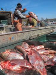 Unloading carp after a recent Asian carp tournament.